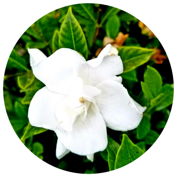 Gardenia Enfleurage Oil