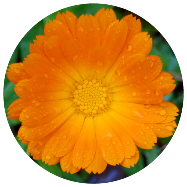 Calendula (Calendula officinalis) Organic CO2 Extract