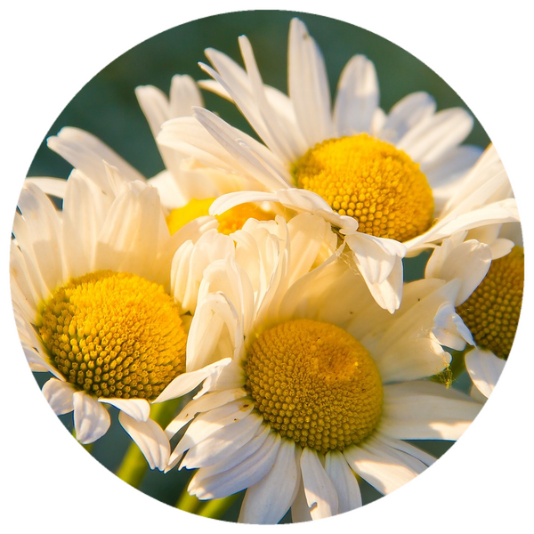 Chamomile, German (Matricaria chamomilla) Organic CO2 Extract