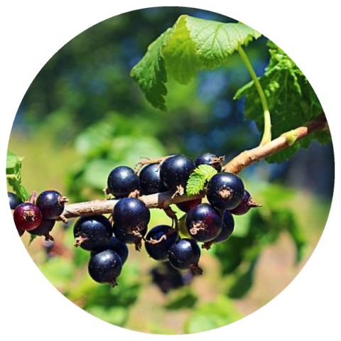 Black Currant (Ribes nigrum) Organic Absolute