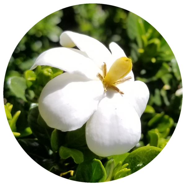 Gardenia Enfleurage Extrait Oil