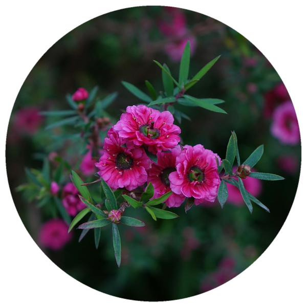 Red Manuka (Leptospermum scoparium) Wildcrafted Essential Oil