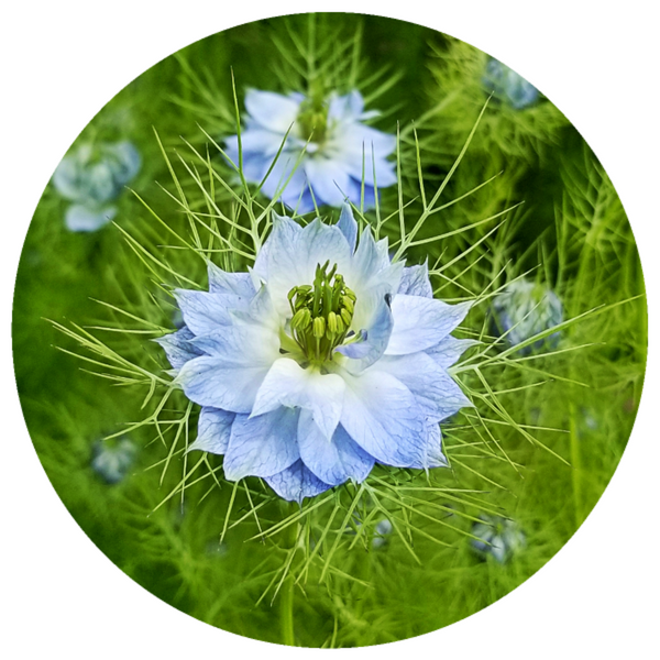 Nigella damascena, Rare French Absolute Oil