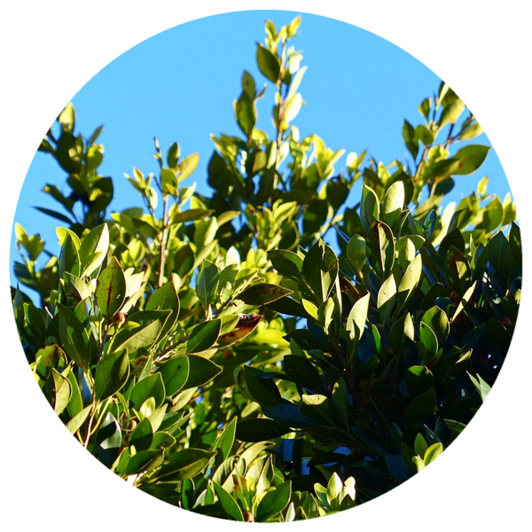 Bay Laurel (Laurus nobilis) Aged Vintage 2010 Essential Oil