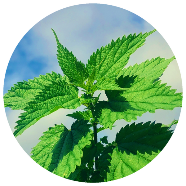 Stinging Nettle (Urtica dioica) Essential Oil