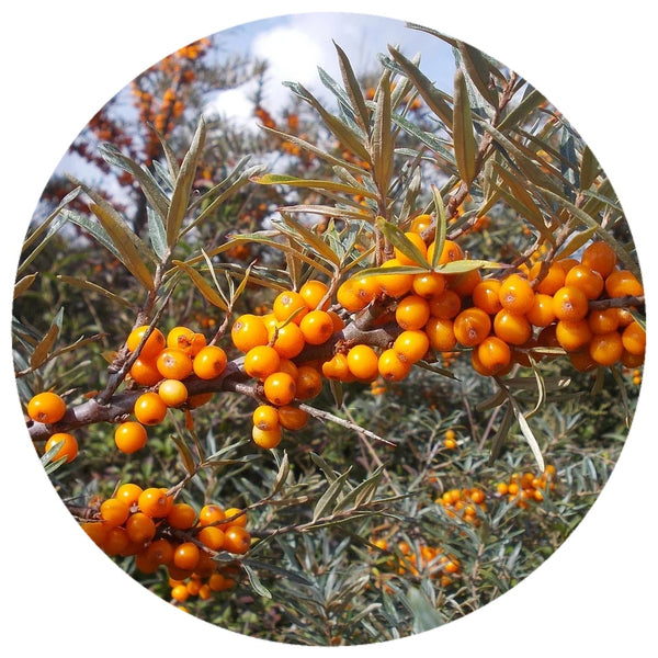 Sea Buckthorn Fruit Pulp (Hippophae rhamnoides) Organic CO2 Extract