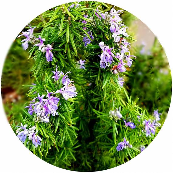 Rosemary (Rosmarinus officinalis) Organic Essential Oil