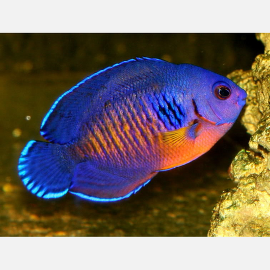 Coral Beauty Angelfish (Dwarf)