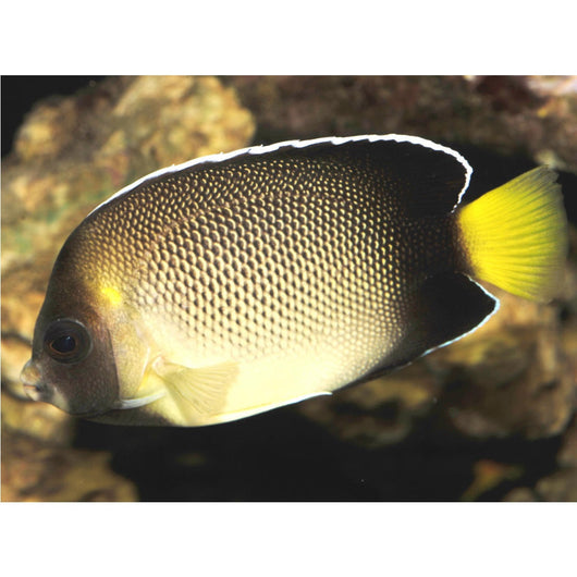 Cream Angelfish (Large Type)