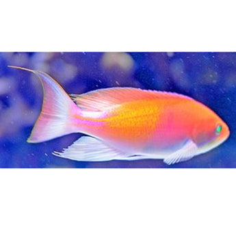 Red Fairy Anthias Fish