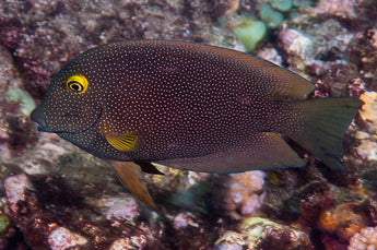 Yellow Eye Goldring Spotted Kole Tang Fish