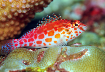 Spotted Hawkfish (Collection Point Sri Lanka)