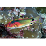 Exquisite Fairy Wrasse Fish