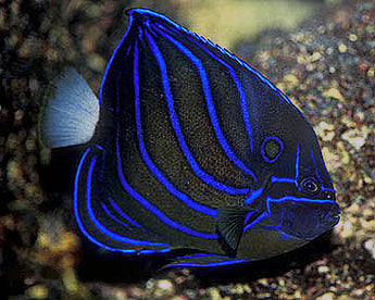 Bluering Annularis Angelfish (Large Type) Adult