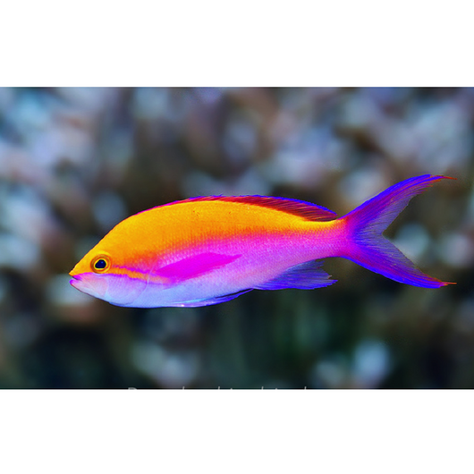 Bicolor Anthias Fish
