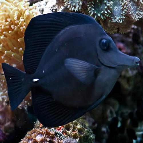 Black Tang Fish