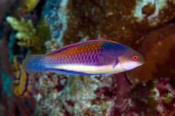 Blue Sided Fairy Wrasse Fish