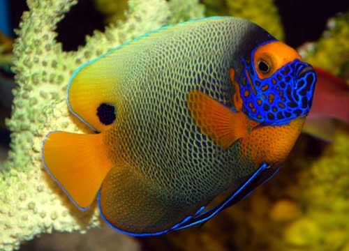Blueface Angelfish (Large Type) Adult