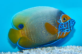 Blueface Angelfish (Large Type) Changing from Juv to Adult