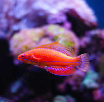 Carpenter Wrasse Fish