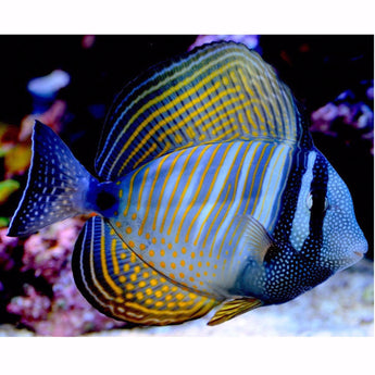 Desjardini Tang  Fish (Red Sea Sailfin Tang)