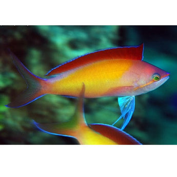 Dispar Anthias Fish