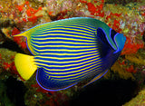 Emperor Angelfish (Large Type) Adult