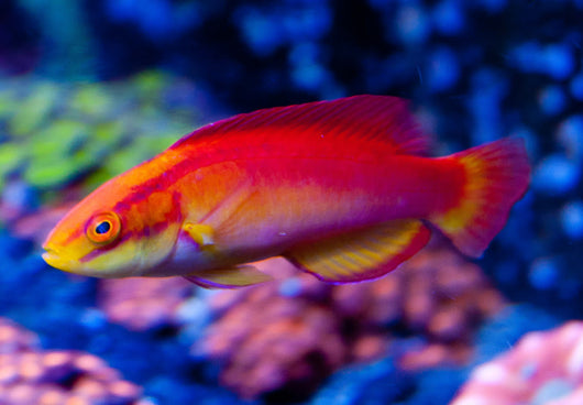 Flame Wrasse Fish
