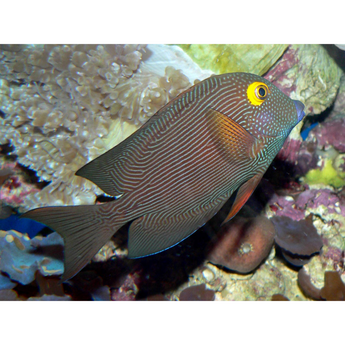 Yellow Eye Kole Tang Fish