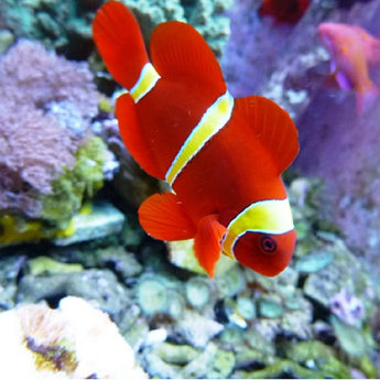 Gold Bar Maroon Clownfish
