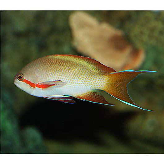 Hutchi Anthias Fish