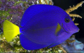Purple Tang Fish