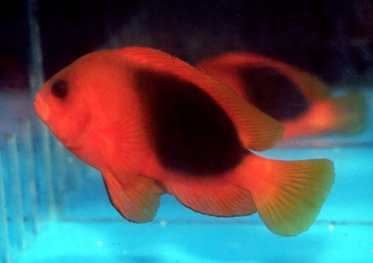 Saddle Clownfish