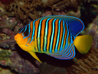 Regal Angelfish (Large Type)
