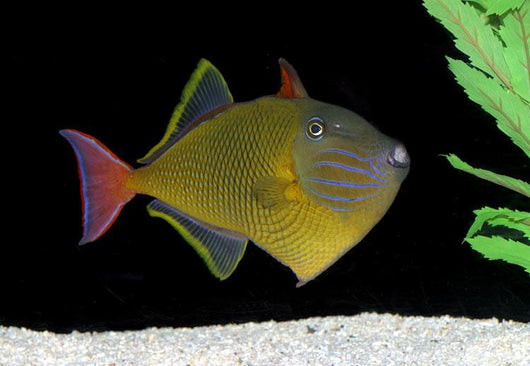 CrossHatch Triggerfish Male