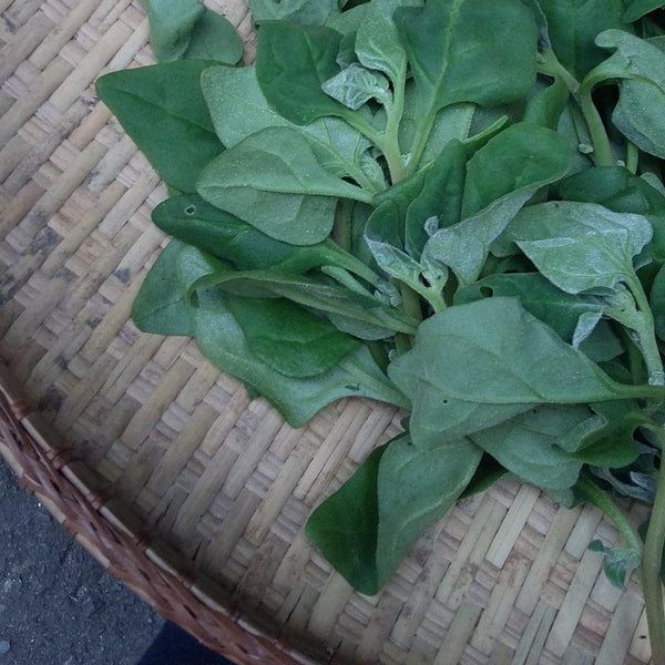 New Zealand Spinach from Bauko, Mt. Province