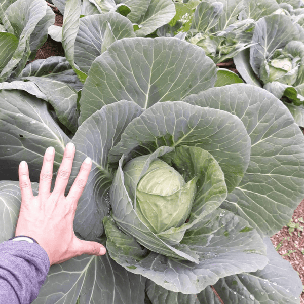 green cabbage from Bauko, Mt. Province