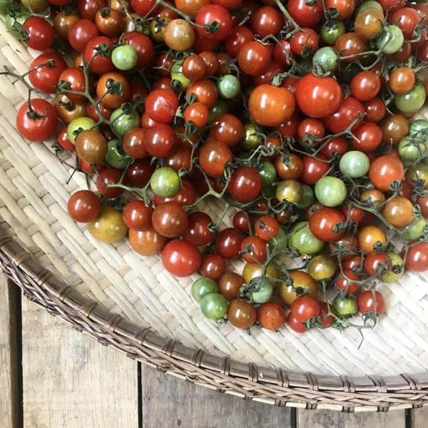 Cherry berry tomatoes from Bauko, Mt Province