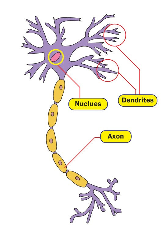 Diagramatic representation on Brain cell