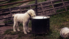 milk is toxic to dogs