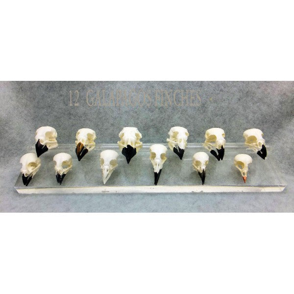 Set Of Twelve Skulls Darwin's Finches - dinosaursrocksuperstore