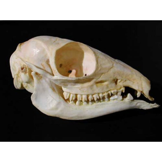 Asiatic Mouse Deer Skull - dinosaursrocksuperstore