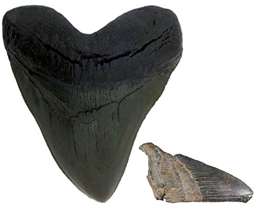 Cast Black Megalodon Shark Tooth Replica and Genuine Fossil Meg Tooth Partial - dinosaursrocksuperstore