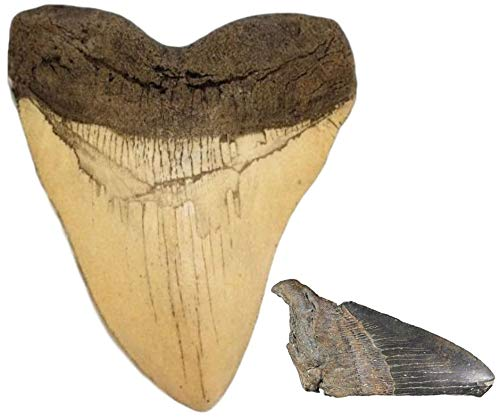 Megalodon Shark Tooth White Cast Replica & Genuine Fossil Meg Tooth Partial - dinosaursrocksuperstore