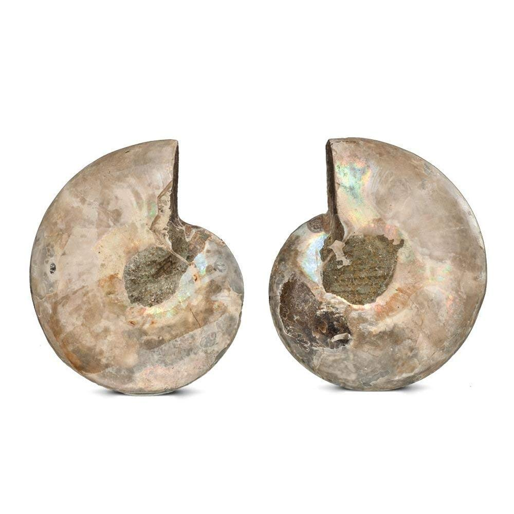 Polished Ammonite Fossil Shell Specimen - 2 Matching Half Shells - dinosaursrocksuperstore
