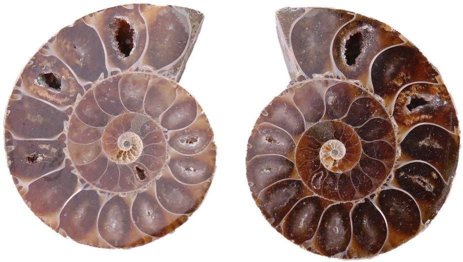 2pcs Shell Fossil Specimen Ammonite Madagascar Extinct Natural Stones and Minerals for Basic Biological Science Education (4cm) - dinosaursrocksuperstore