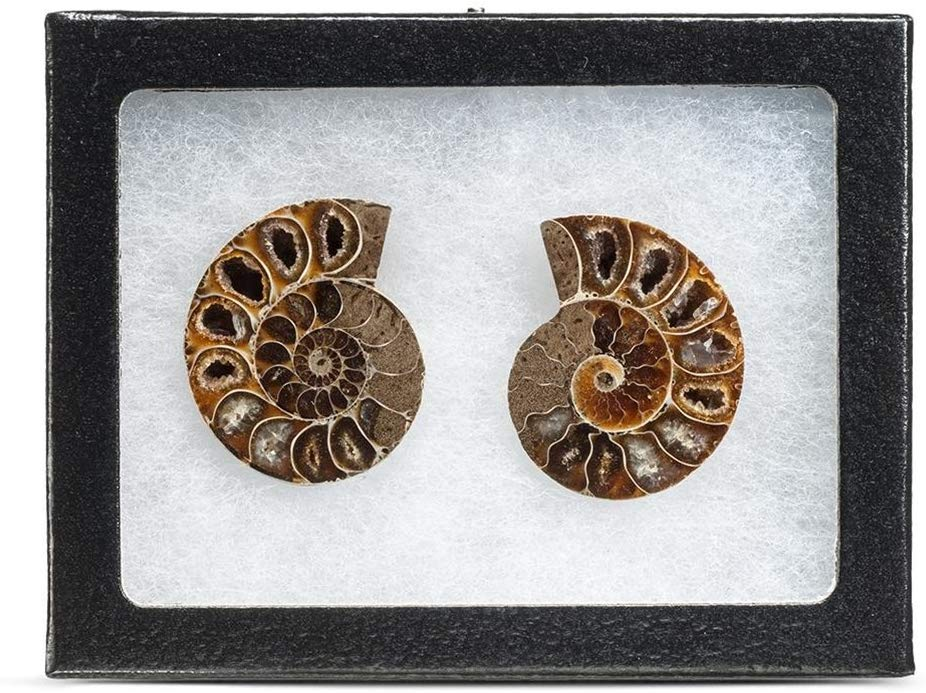 Extinct Natural Ammonite Shell Pair Fossil Stone - Madagascar - dinosaursrocksuperstore