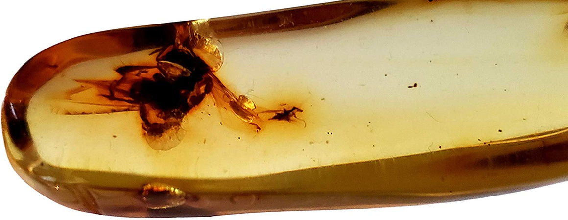 Genuine Amber Fossil Specimen - Multiple Insect Inclusions - Naturally Formed from Colombia with Bugs Inside - Museum Grade, A-Grade - Great Collectible - Piece #12 (42mm x 14mm)
