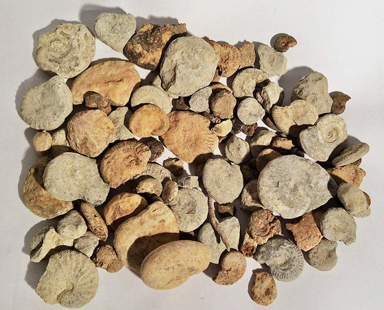Bulk Fossils - Genuine Ammonites - 50+ Pieces - 1 lb