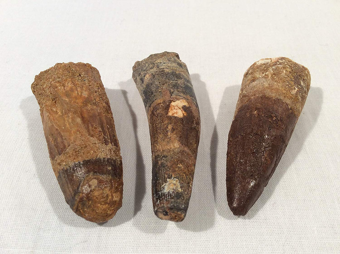 "Genuine Spinosaurus Dinosaur Fossil Tooth - 2"". Great Gift for Collectors, Teachers, and Fossil Lovers! - dinosaursrocksuperstore"